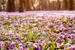 Saffron meadow flowers royalty free stock photography