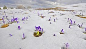 Saffron on melting snow stock video footage
