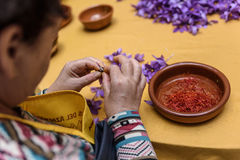 Saffron peeling manual operation by hand Royalty Free Stock Images