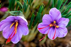 Saffron is a spice derived from the flower of Crocus sativus. The vivid crimson stigmas and styles, called threads, are collected to be used mainly as a royalty free stock photo