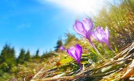 Saffron. On spring mountain glade Royalty Free Stock Image