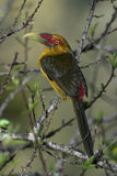 Saffron toucanet, Baillonius bailloni Stock Image