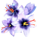 Saffron violet crocus flowers isolated on white background, watercolor illustration Royalty Free Stock Photography