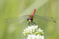 Saffron-winged Meadowhawk on a White Flower Royalty Free Stock Image