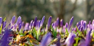 Saffrons в парке Tivoli Стоковые Изображения