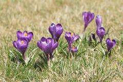 Saffrons на луге Стоковые Фото