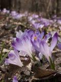 Saffrons floreciente Foto de archivo libre de regalías