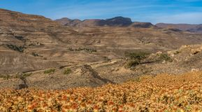 Saflor flower field between in Tigray, Northern Ethiopia, Africa stock photo