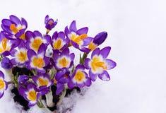 Safran de source dans la neige Photographie stock
