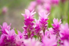 Safran des Indes Zanthorrhiza (Siam Tulip Curcuma Alismatifolia) Flower I Photos stock