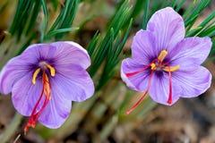 Safran ist ein Gewürz, das von der Blume des Krokusses Sativus abgeleitet wird lizenzfreies stockbild
