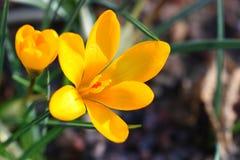 Safran jaune Photographie stock