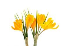 Safran jaune #02 Photographie stock