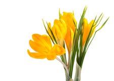 Safran jaune #02 Photo libre de droits