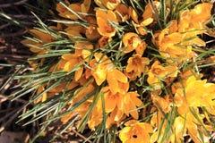 Safran jaune #02 Image stock