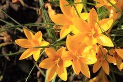 Safran jaune #02 Image libre de droits