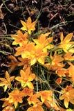 Safran jaune #02 Photos stock