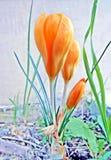 Safran jaunes Image libre de droits