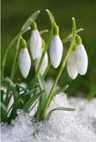 Safran-snowdrops Images stock