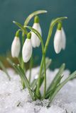 Safran-snowdrops Photos stock