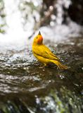 Safron Finch. A saffron finch bathing in a two tier mini waterfall Stock Photo