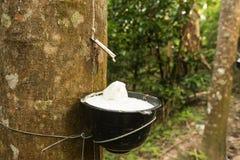 Saft von den Gummibäumen, zum für die Produktion des Gummis zu sammeln Stockbilder
