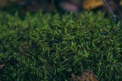 Saftig grön mossa i skognärbilden Bush härlig grön mossa Skoggr?s Bakgrund royaltyfri bild
