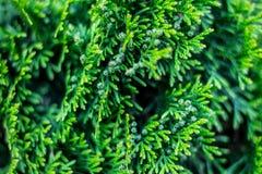 Saftig grön thuja, barrträds- buske royaltyfri bild