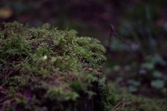 Saftig gr?n mossa i skogn?rbilden Bush h?rlig gr?n mossa Skoggr?s Bakgrund royaltyfri foto