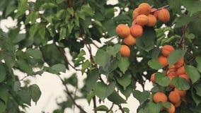 Saftig härlig fantastisk trevlig aprikosfrukt på trädfilialen, bra dag för solig sommar med ljus bris Grunt djup av fältet arkivfilmer