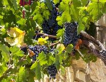 Saftig mogen grupp av druvor Cabernet - sauvignon Vingårdarna av Grekland royaltyfria foton