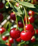 Saftig och mogen frukt av körsbär som hänger på en trädfilial på en solig sommardag Arkivfoto