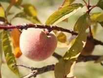 saftig persika Arkivbilder