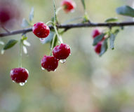 saftig red för Cherry Royaltyfri Fotografi