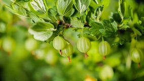 Saftiga krusbär på en grön buske bär fruktt vitaminer royaltyfria foton