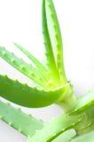 saftiga leaves vera för aloebuske Arkivbild