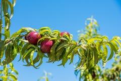 Saftiga ljusa nektariner på frunch, bakgrund för blå himmel, skördkopieringsutrymme för text Royaltyfria Foton