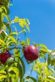Saftiga ljusa nektariner på frunch, bakgrund för blå himmel, skördnärbild vertikalt Royaltyfria Foton