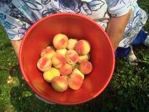 Saftiga nya persikor i en rödaktig hink på lantgården Fotografering för Bildbyråer