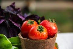 Saftiga nya tomater i en pappers- hink Ingredienser för sommarsallad Fotografering för Bildbyråer