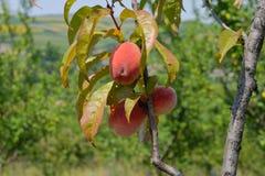Saftiga persikor på en filial Arkivbilder