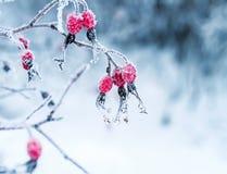 Saftiga röda nyponbär som hänger i den täckte wintergardenen Royaltyfria Foton