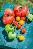 Saftiga tomater i trädgård Arkivbild
