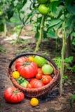 Saftiga tomater i vide- korg Arkivbild