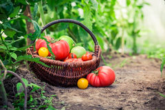 Saftiga tomater på jordning Royaltyfria Foton