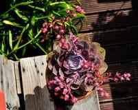 Saftige Anlage, Blüten-Garten, Frühling, purpurrote Blumen Stockbild