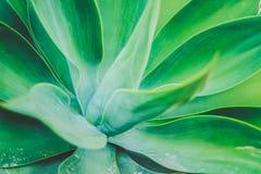Saftige Anlage der riesigen Agave, die im botanischen Garten wächst lizenzfreie stockfotos