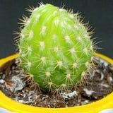 saftige Anlage des kleinen Kaktus im Blumentopfbild lizenzfreies stockbild