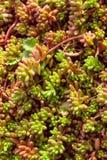 Saftige Anlage natürlicher Hintergrund Kaktus, vertikal Stockbild