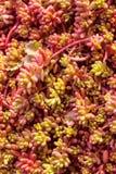 Saftige Anlage purpurroten Hintergrund Kaktus, vertikal Lizenzfreie Stockfotos